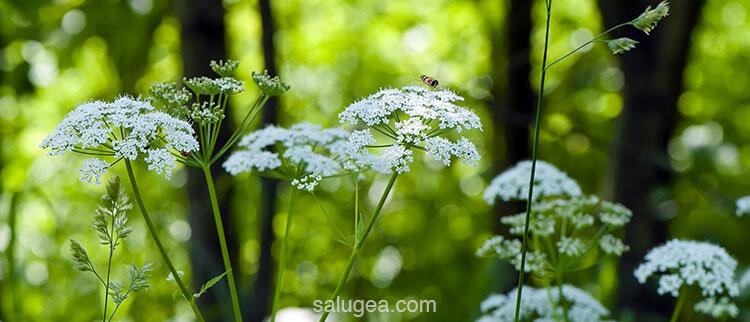 angelica sinensis pianta
