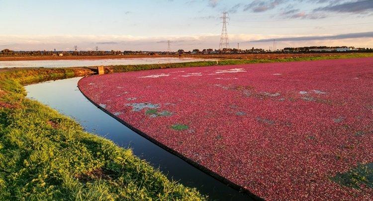 la raccolta del cranberry