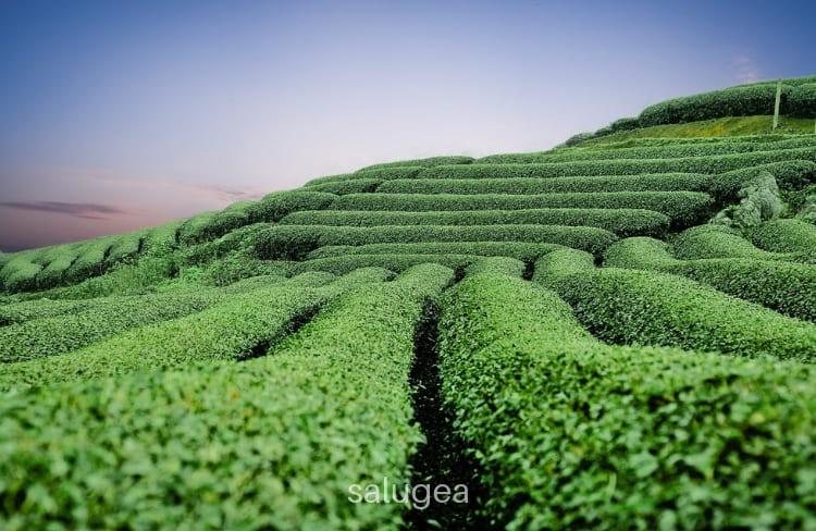 te verde per depurare il fegato